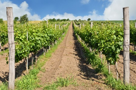 Small vineyard in Europe Stock Photo