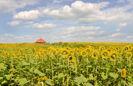 Sunflower field and farmhouse in Europe