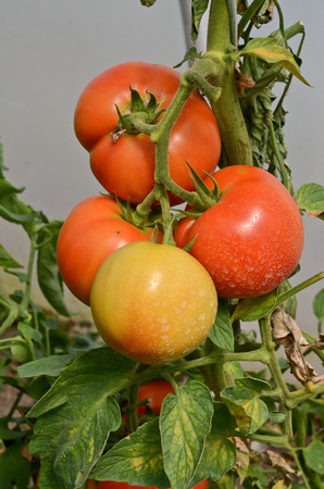 conservatory: Growing tomatoes in greenhouse