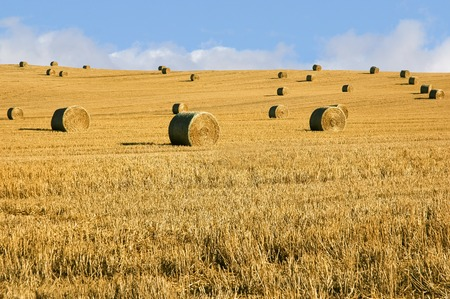 harvests: Straw bales in summer