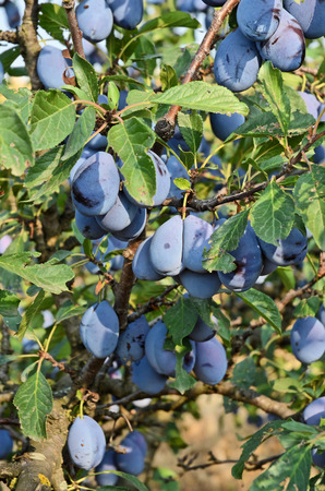 serbia: Plum orchard in Serbia Stock Photo