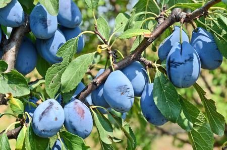 rakia: Plum orchard in Serbia Stock Photo