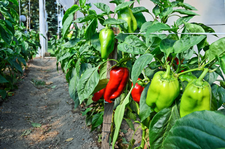 glasshouse: Growing capsicums in glasshouse Stock Photo