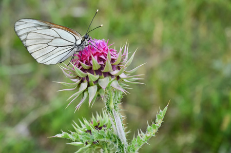 White butterfly on a Musk Thistle wild flower