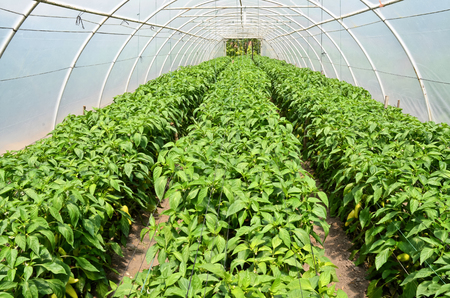 hothouse: Growing capsicums in hothouse Stock Photo