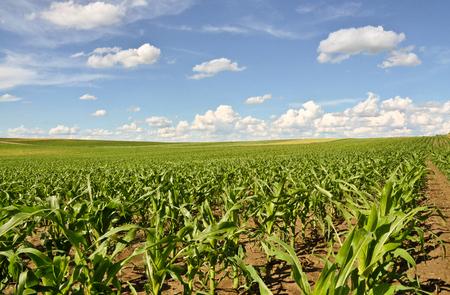 agrarian: Cornfield in springtime