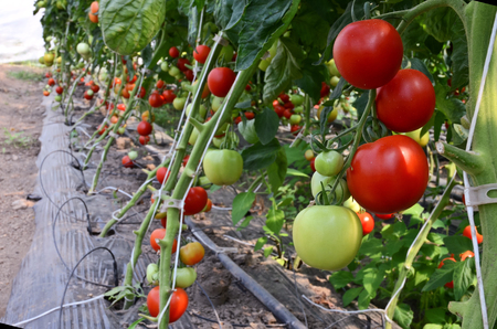 conservatory: Tomatoes in hothouse