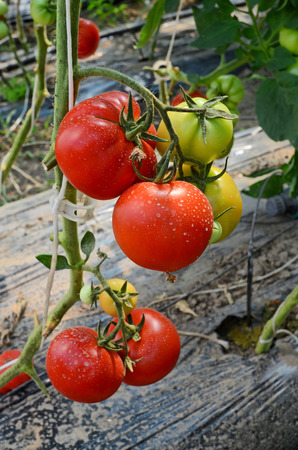 Tomatoes in hothouse