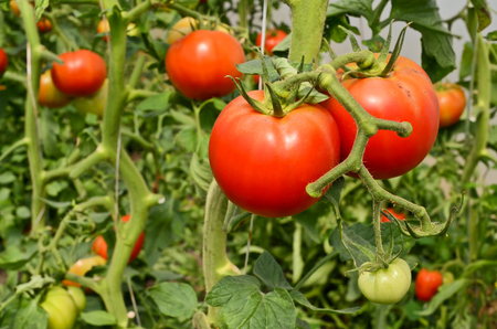 Large tomatoes in hothouse