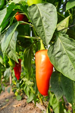 Growing capsicums in hothouse Stock Photo