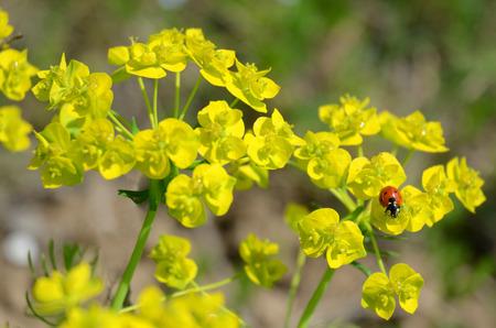 Ladybug on yellow wild flowers