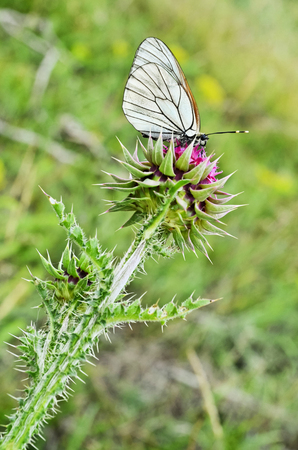 White butterfly on a Musk Thistle wildflower