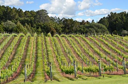 Vineyard in New Zealand - North Island