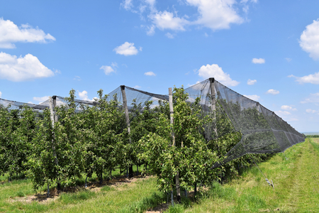 unripe: Young apples in an European orchard in springtime