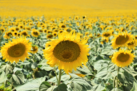 Endless sunflower farm in early summertime