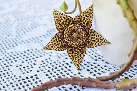 Beautiful starfish cactus flower in bloom Stock Photo