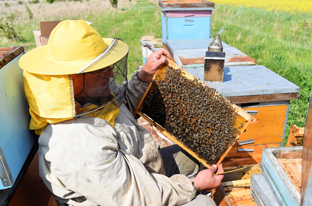Beekeeper checking his hive frames covered with honey bees