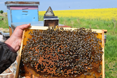 Beekeeper holding a hive frame full of honeybees