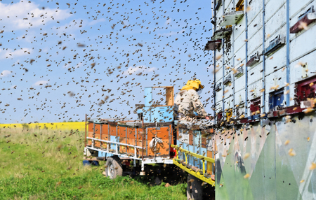 Beekeeper and his mobile beehives in oilseed rape farm during spring