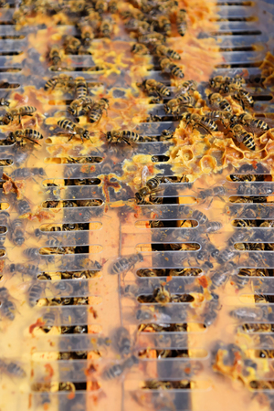 A hive frames covered with busy bees
