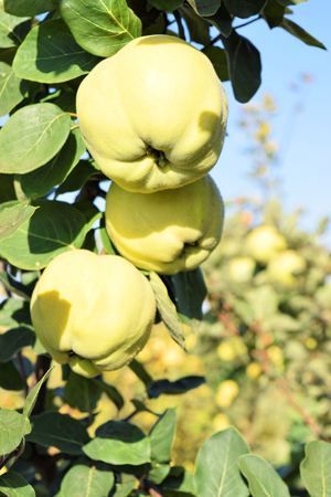 Apple quince fruit orchard in eastern Europe