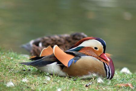 h�tte schnee: Duck ruhen auf einem See  Lizenzfreie Bilder