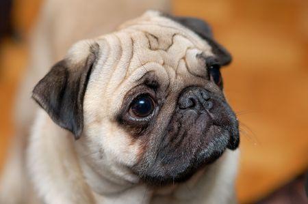Portrait of a little pug photo