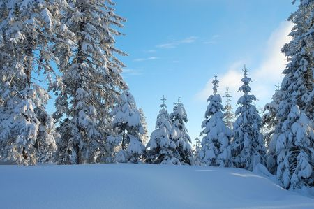 icily: Pine trees covered with fresh snow