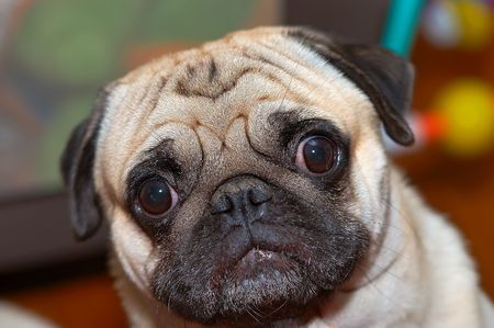 Pug wandering with eyes wide open photo