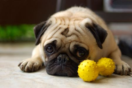 guilty: Pug laying near his toy looking slightly guilty