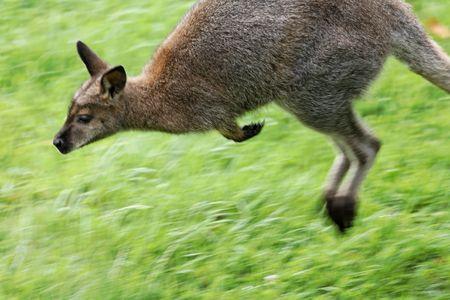 Kangaroo in blurred motion Stockfoto