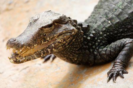 fierce: Fierce alligator