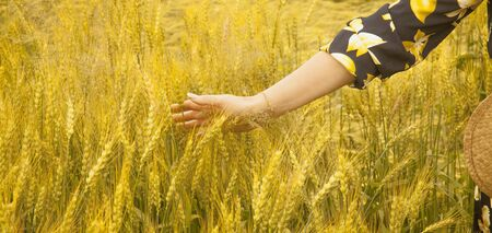 Female hand touching a golden wheat ear in the wheat field, sunset light, flare light. Horizontal image.