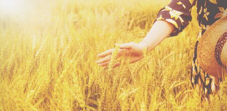 Female hand touching a golden wheat ear in the wheat field, sunset light, flare light.  Archivio Fotografico