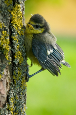 confiding: a young tit on a tree trunk