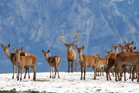 herd of deer: deer in the mountains in winter