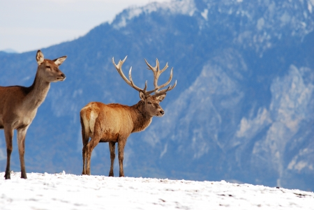 deer in the mountains photo
