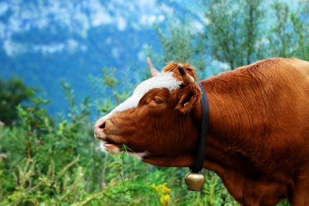 side face of a cow Stock Photo