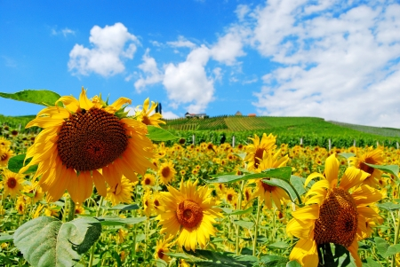 sunflowers and vineyards Stock Photo - 15002897