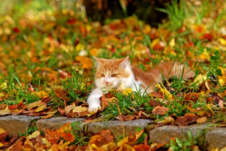 cat lying in the autumn foliage