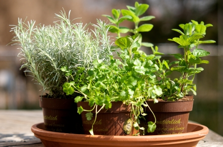 on herb: herbs in a pot