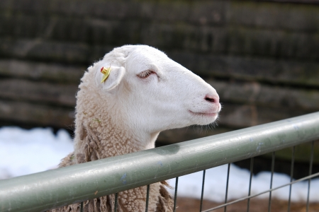 white sheep looking over the fence photo