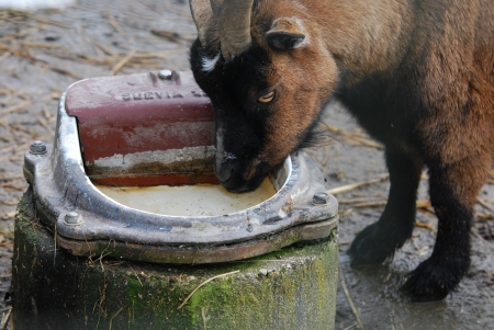 goat drinking water out of a pot stock photo picture and royalty
