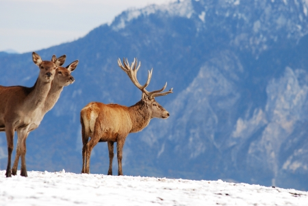 deer in the mountains in winter