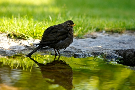 confiding: blackbird reflected in the water