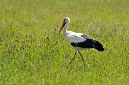 stork walking in the meadow