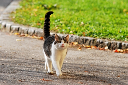 cat with an exalted tail walking on the street