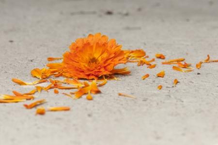 a calendula bloom and petals on the floor photo