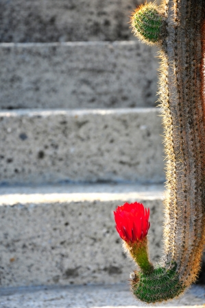 spiny cactus with red bloom