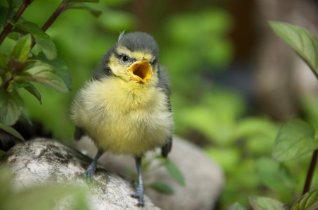 confiding: young tit sitting on a stone in a herb garden and chirping